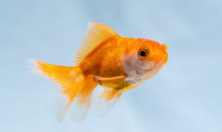 vejiga natatoria de los peces