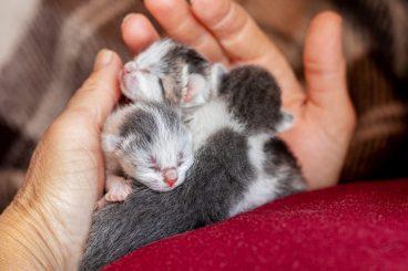 cuidados del gato recién nacido sin madre