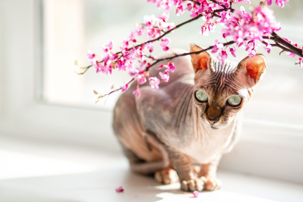 cuidados del gato Sphynx sobre higiene