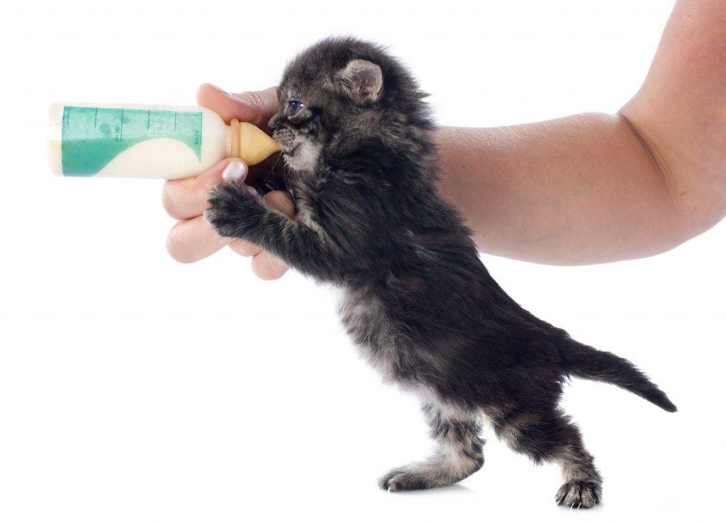 El gato recién nacido sin madre debe tomar biberón