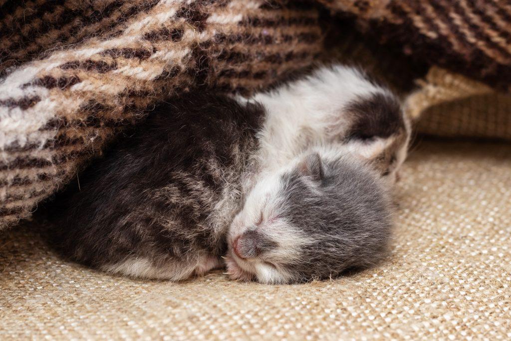 El gato recién nacido sin madre requiere de muchos cuidados