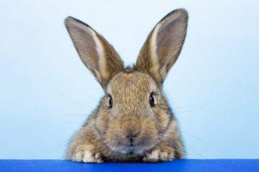 esterilizar a un conejo