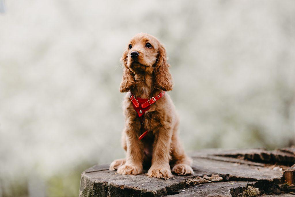 La domesticación ha influido en que haya perros con orejas caídas