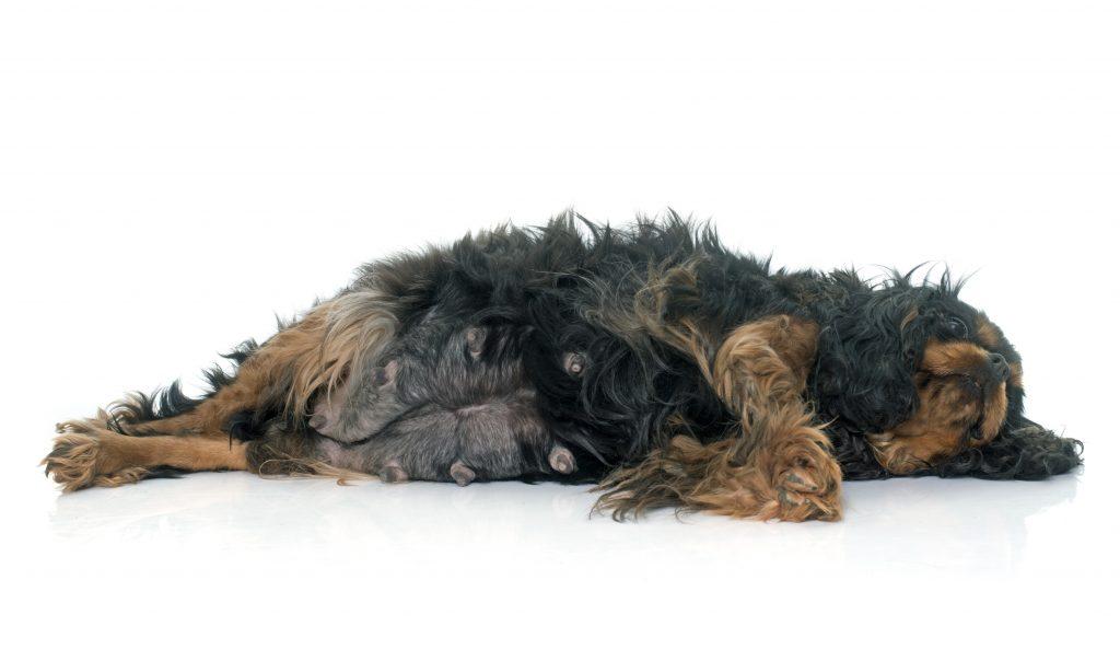la esterilización ayuda a prevenir el cáncer de mama en mascotas