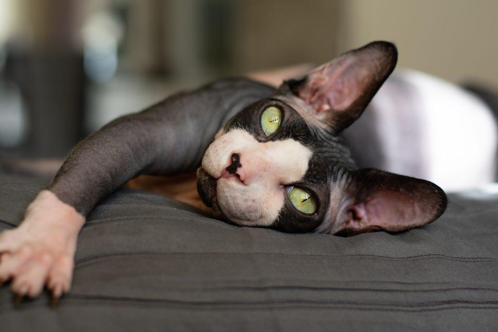limpiar sus orejas es uno de los cuidados del gato Sphynx