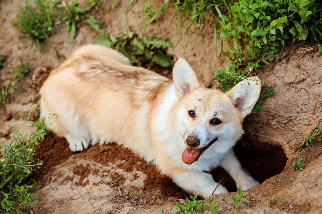 mi perro entierra cosas para disfrutarlas en el futuro