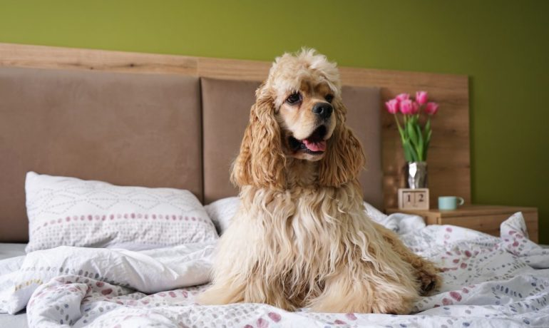 por qué hay perros con orejas caídas