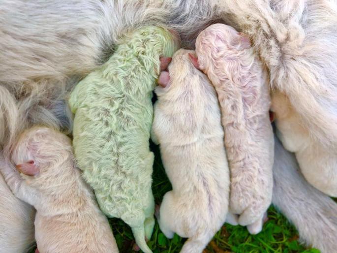 que nazca un perro verde es posible