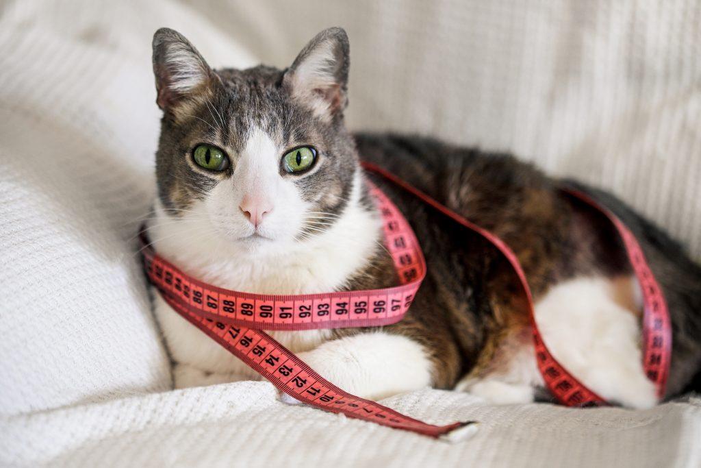 síntomas de la ascitis en gatos
