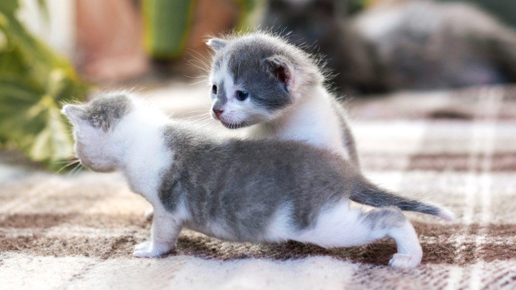 Un gato recién nacido sin madre debe socializar también