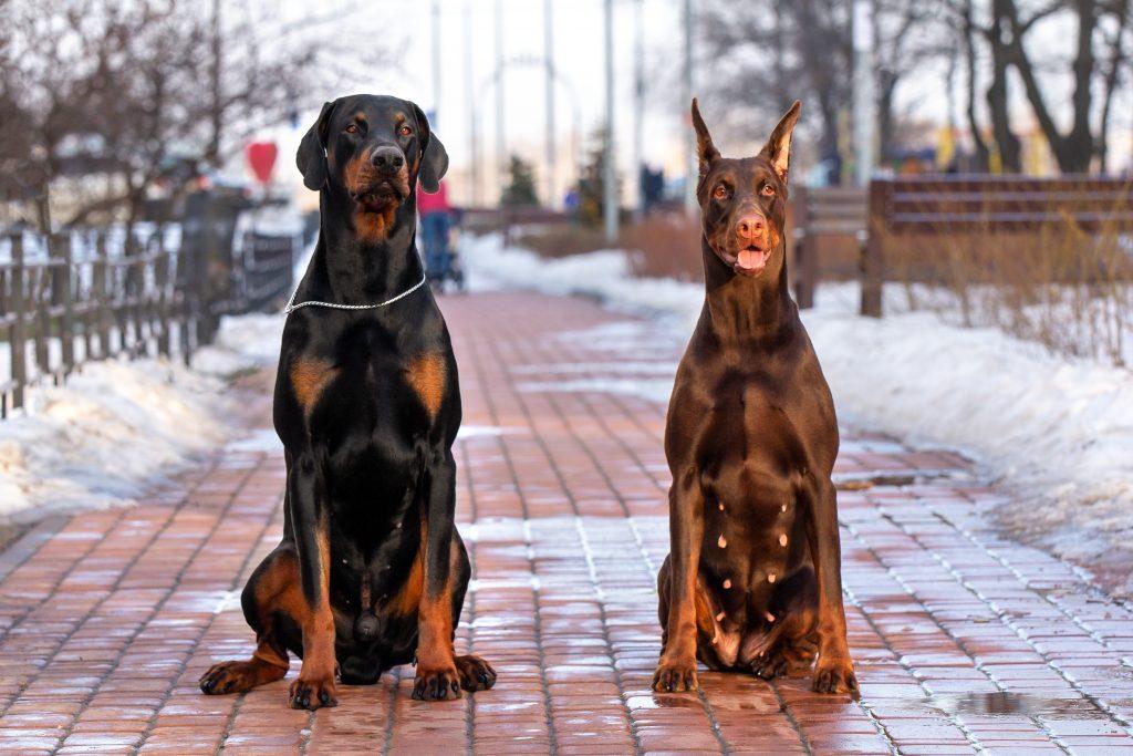 características físicas del perro Dóberman