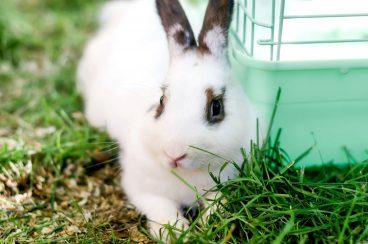 cómo enseñar a un conejo a usar la bandeja de arena