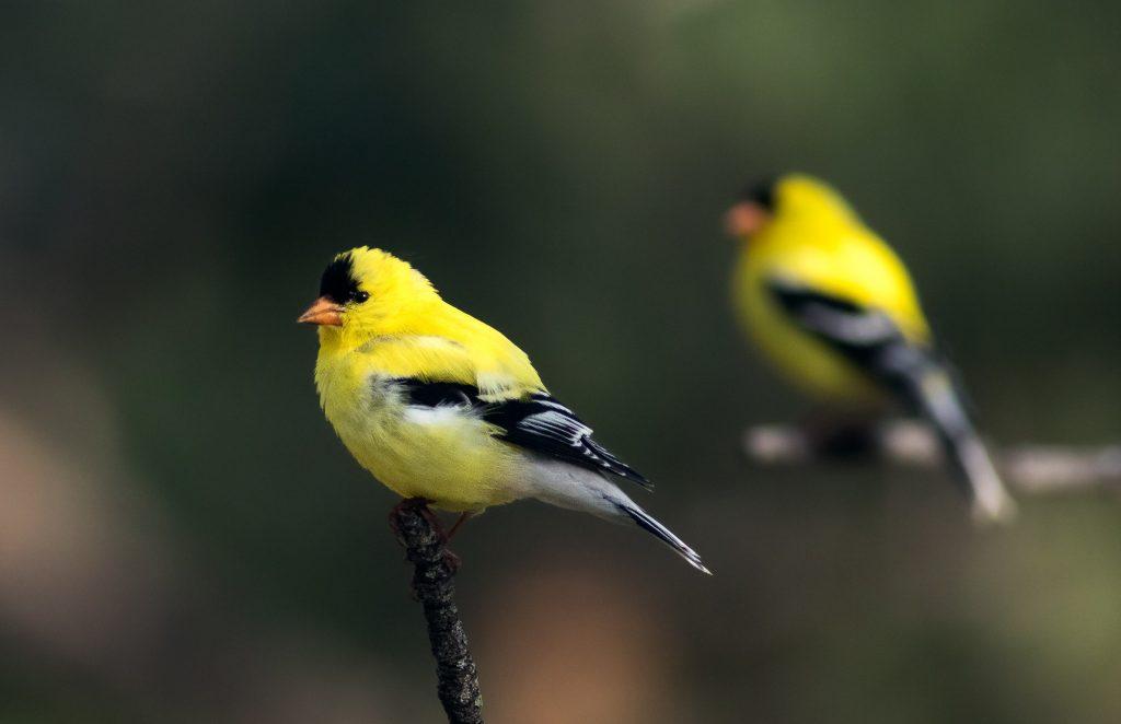 cuidados de los pájaros cantores más importantes