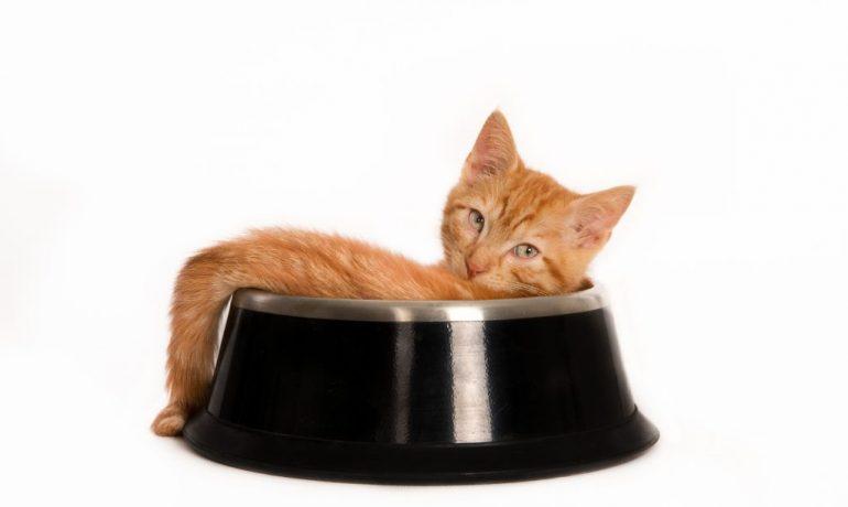 enfermedades por mala alimentación en gatos