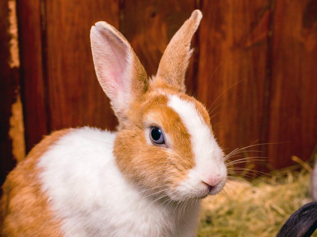enseñar a un conejo a usar la bandeja de arena
