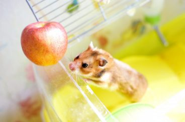 frutas para hámsters