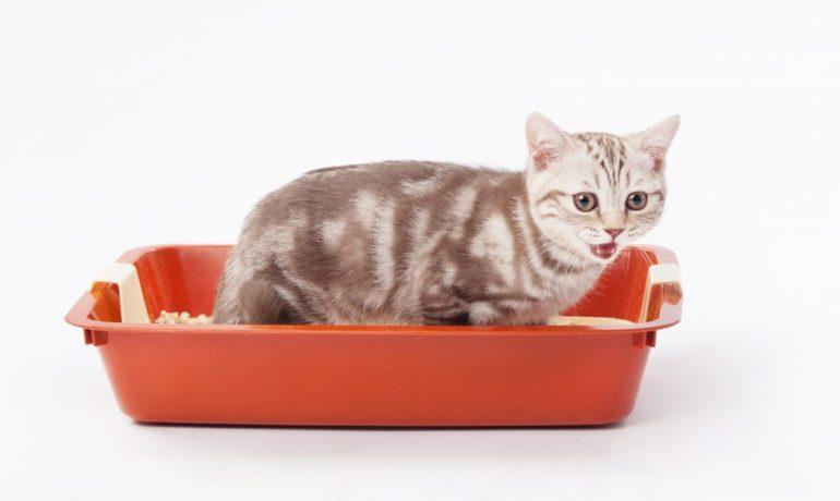 gato orina sangre