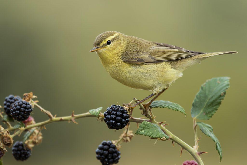 la alimentación es uno de los cuidados de los pájaros cantores más importantes