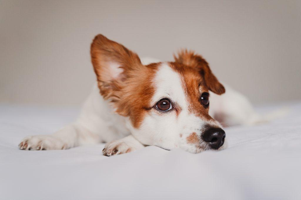 por qué mi perro tiene una oreja caída