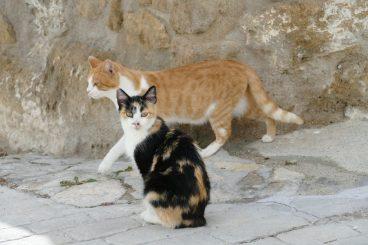 bolsa primordial en gatos