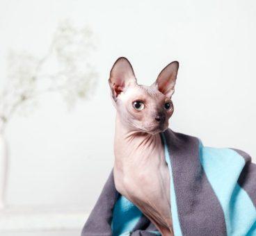 cómo bañar a un gato sin pelo