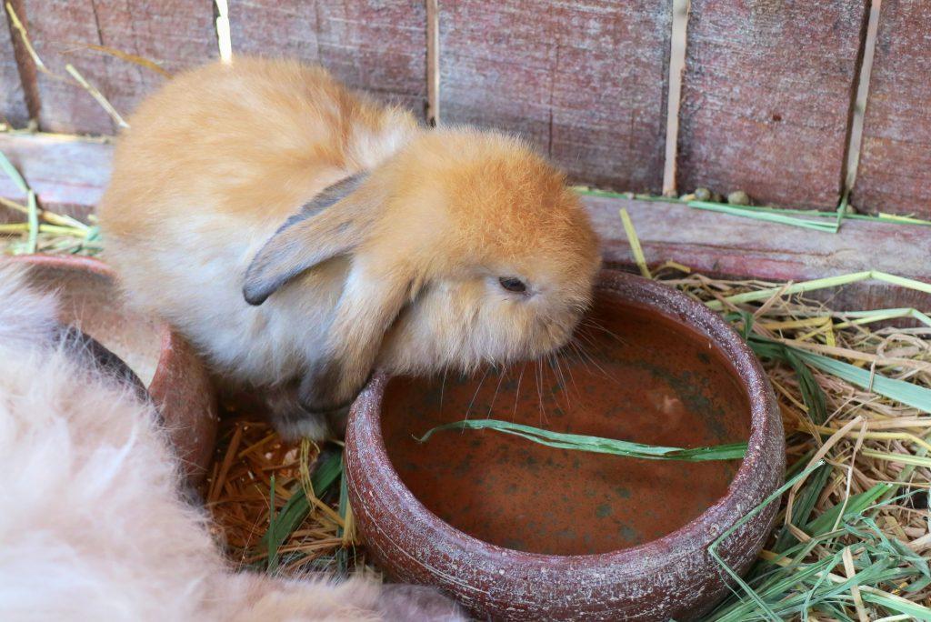 descubriendo cuánta agua debe tomar un conejo