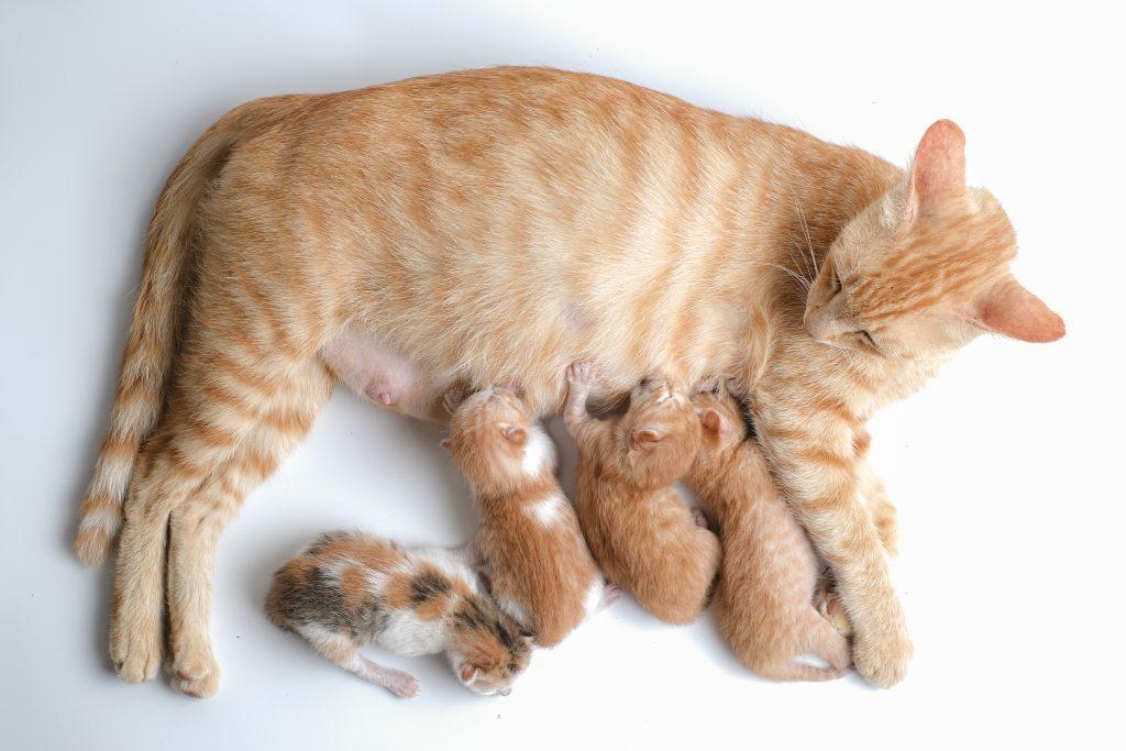 los gatos no son intolerantes a la lactosa cuando son cachorros
