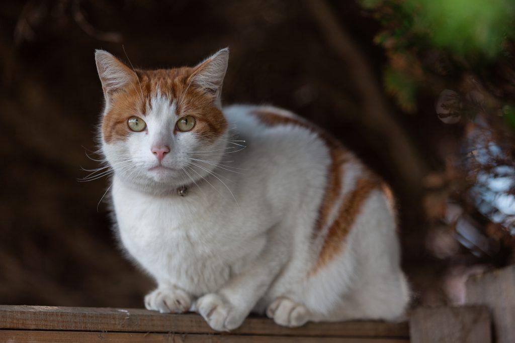 qué es la bolsa primordial en gatos