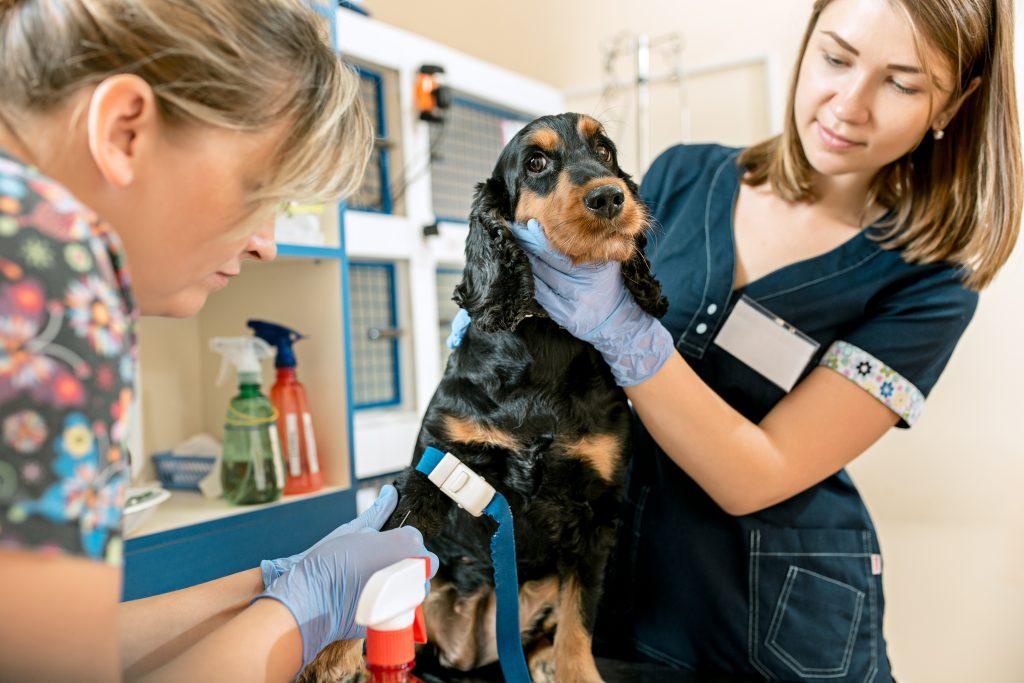 qué es la trombocitopenia en perros