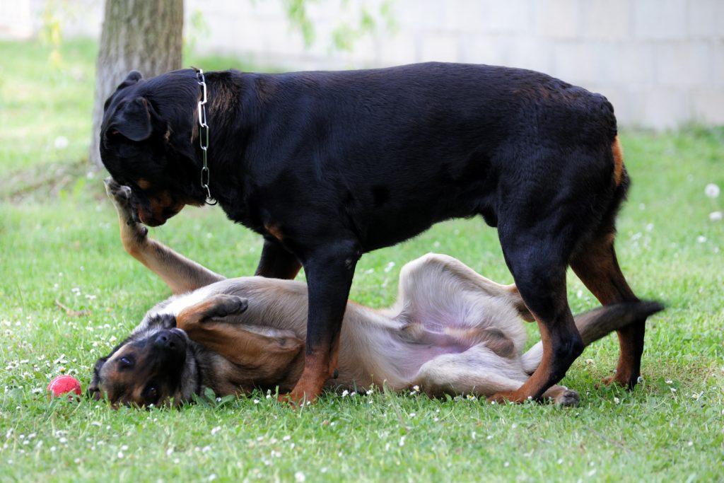 tips para tratar con un perro dominante