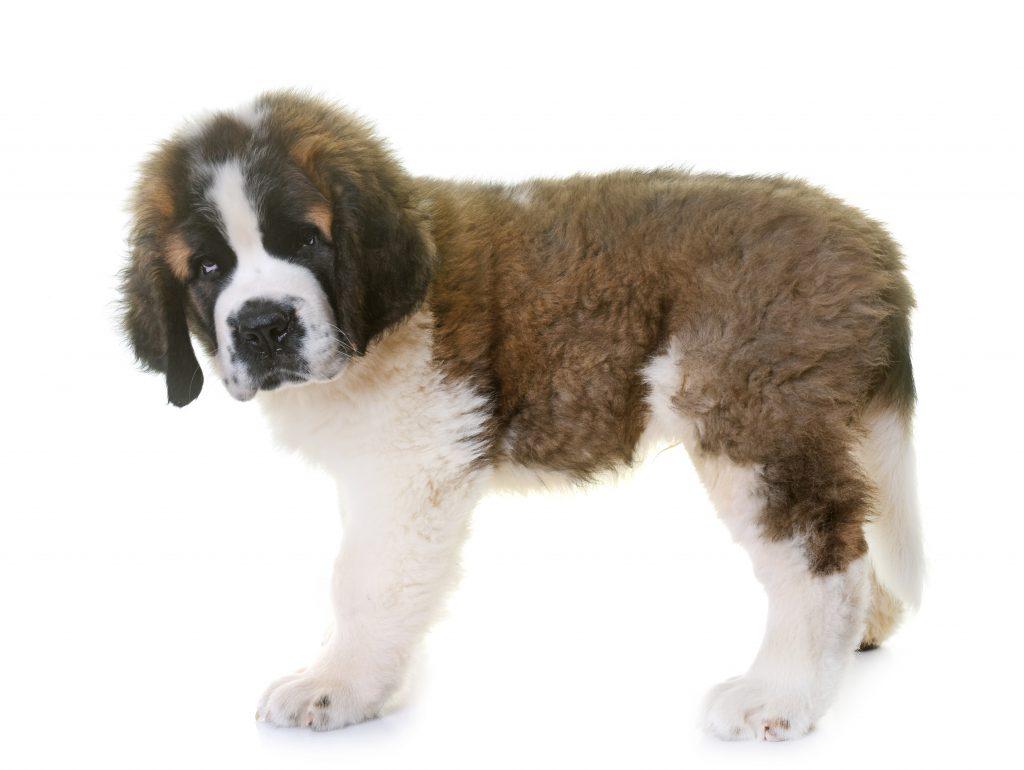 causas de la displasia de codo en perros