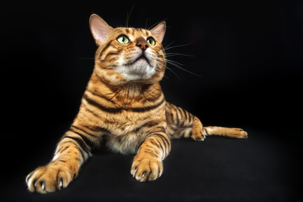 qué es la otitis en gatos y qué la causa