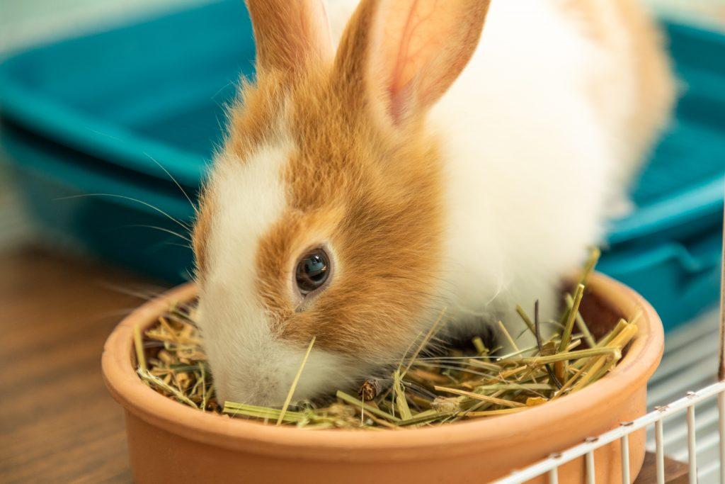 Dentro de la alimentación de los conejos debe haber heno, frutas, verduras y hierbas