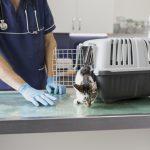 llevar al gato al veterinario