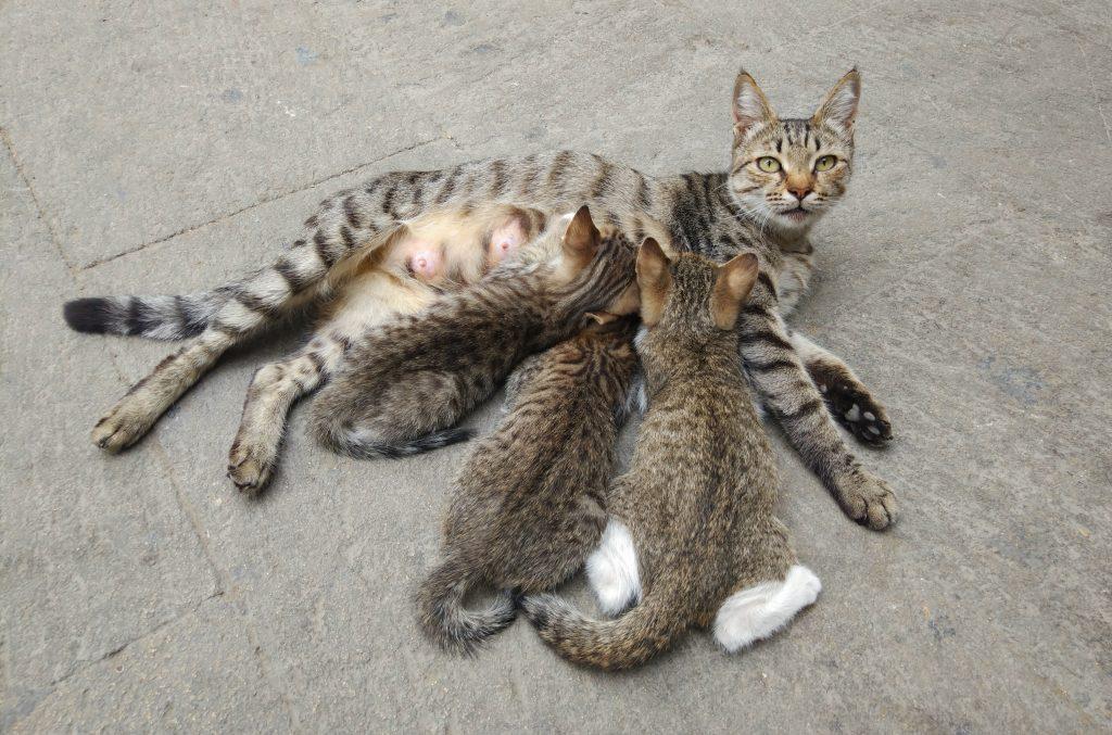 los gatos cachorros sí pueden beber leche materna