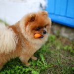 los perros pueden comer zanahoria