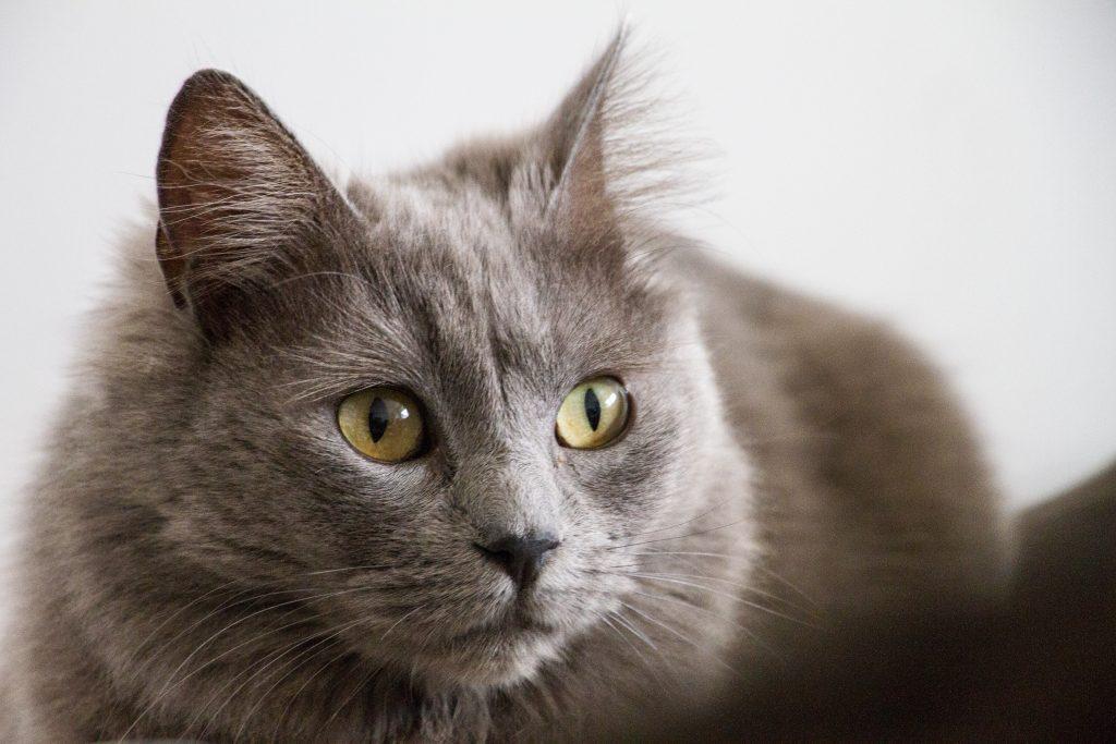 los síntomas de la otitis en gatos son varios