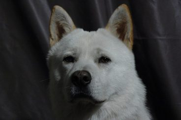 perro de Chindo o Jindo coreano