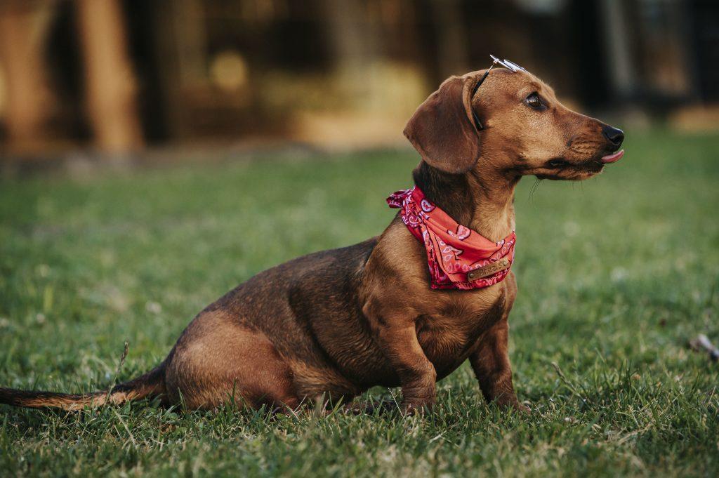 qué es la criptorquidia en perros