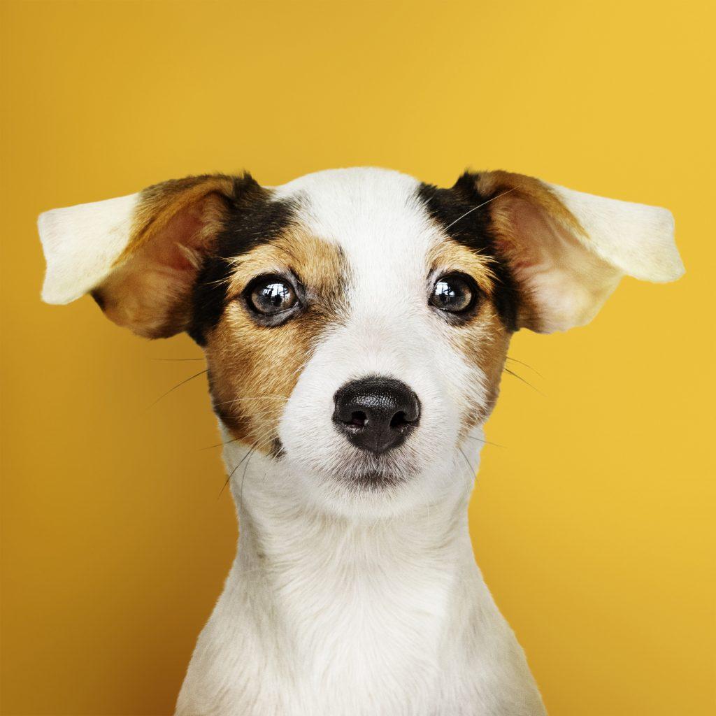 10 datos curiosos sobre las orejas de los perros