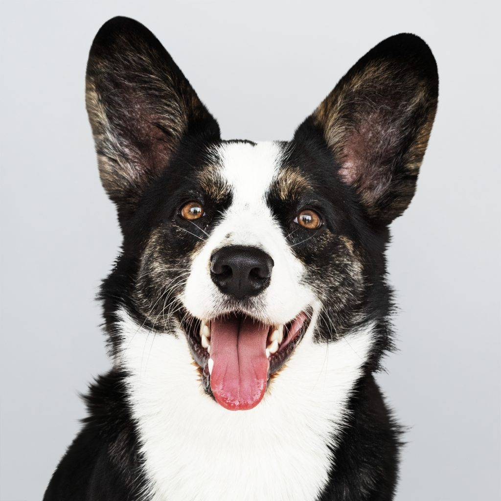 Las orejas de los perros se mueven para escuchar mejor